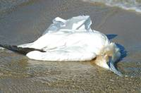 Ml550_bird_with_plastic_bag__2006_m